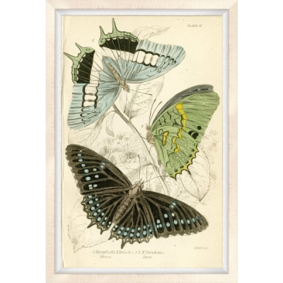 Oversized Brazilian Butterfly 2
