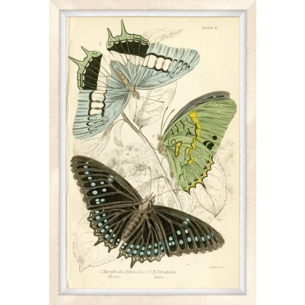 Oversized Brazilian Butterfly 2